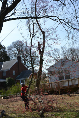 Tree Removal Chantilly Virginia - Certified Local Arborists - services-tree-removal-team-careful
