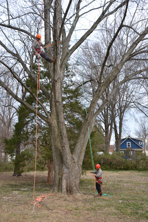 Residential Tree Services in Chantilly Virginia - Certified Arborists - tree-services-residential-two-men